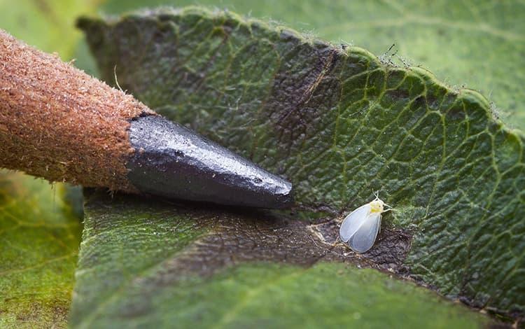 mouche blanche sur feuille