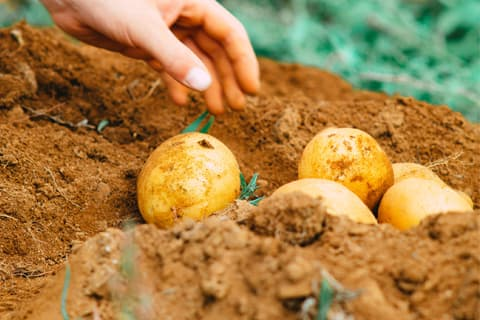 Plantation patates
