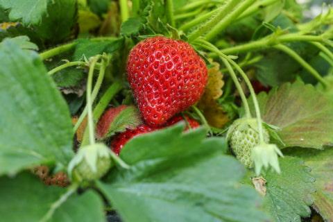 comment planter un fraisier
