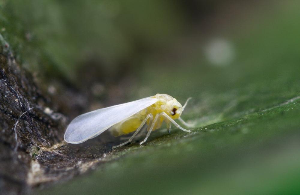 aleurode mouche blanche