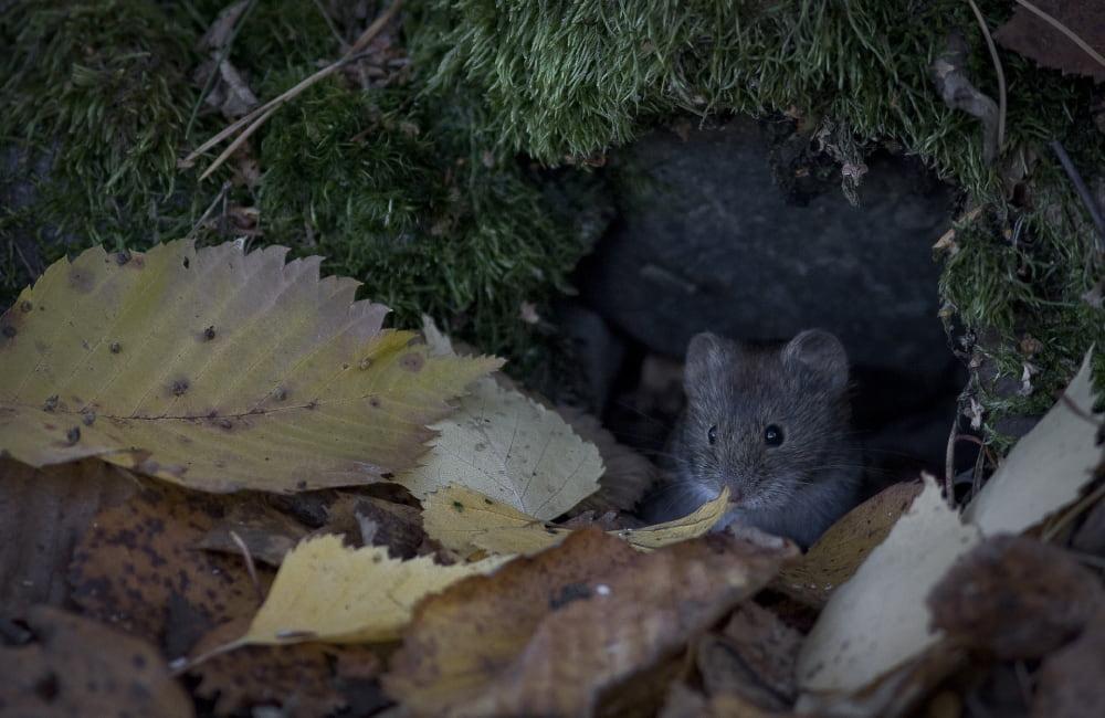 rat taupier ravageur