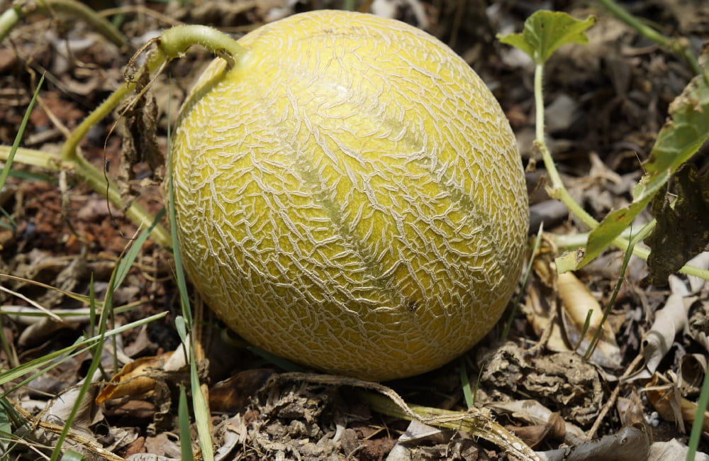 cultiver le melon