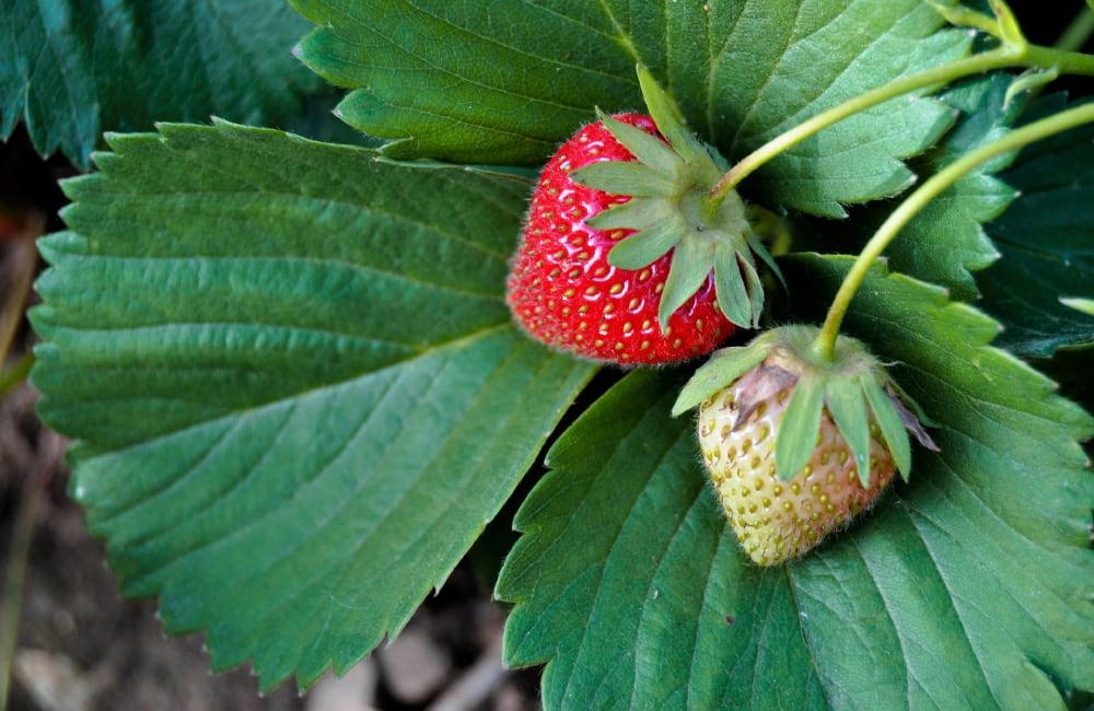 planter un fraisier